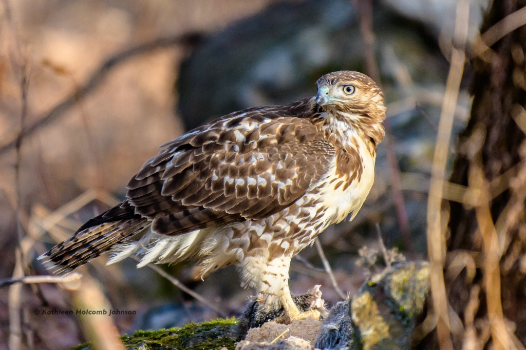 """Red-shouldered Hawk - Hawk """"Who's There!"""