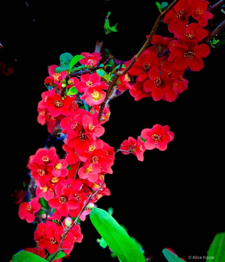 """Cascading Blossoms  """"stage light"""""""