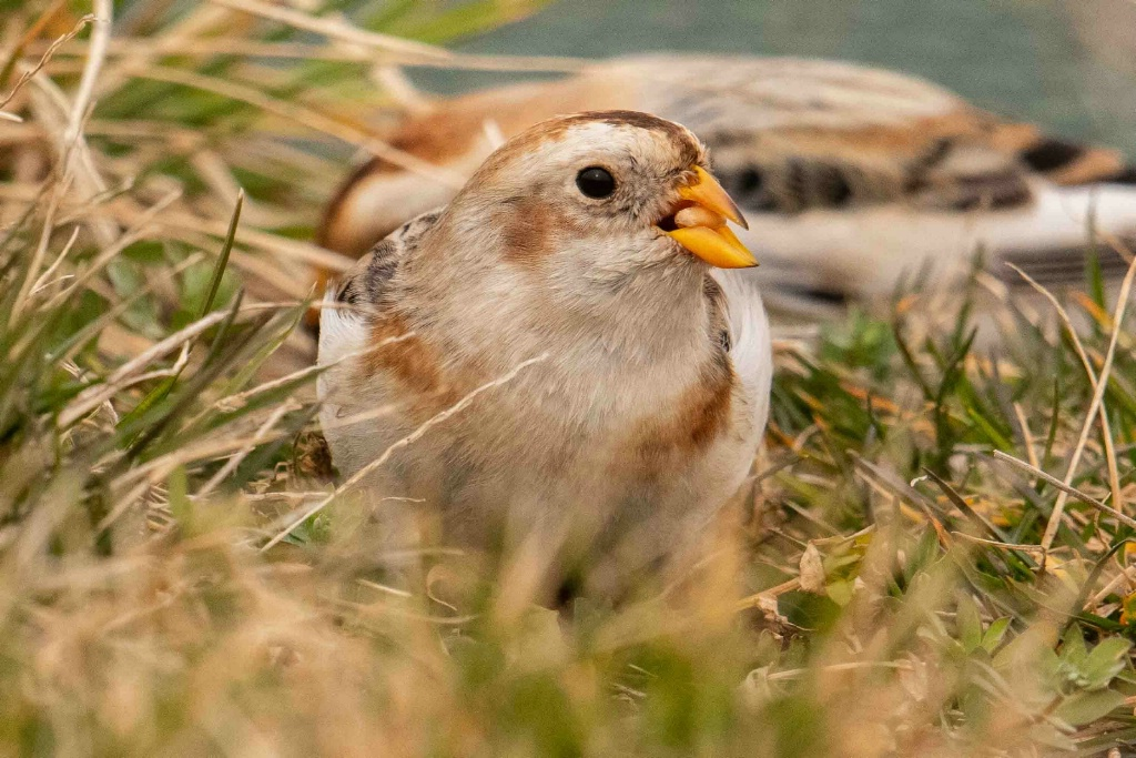 Hungry Snow Bunting