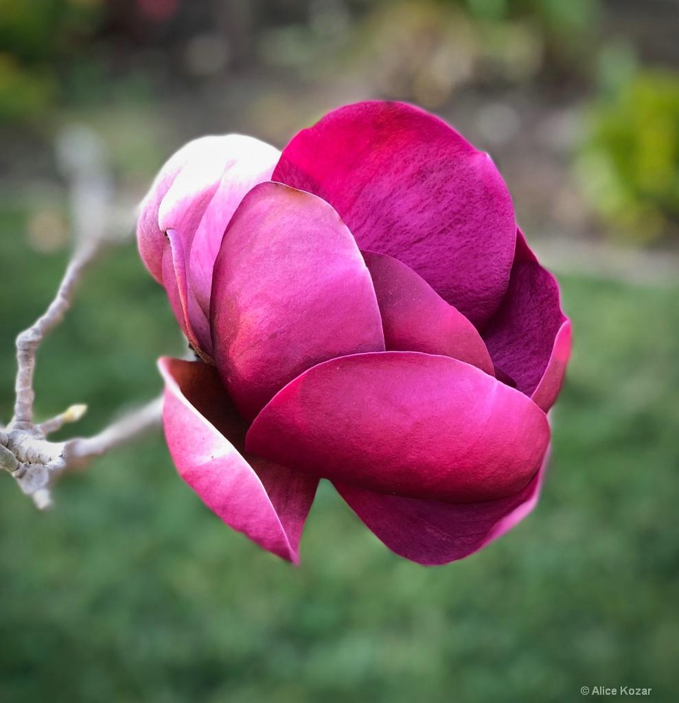 """Sumptuous Red Magnolia """"portrait"""""""
