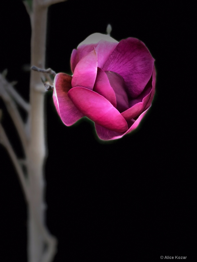 """Red magnolia and branch """"stage light"""""""