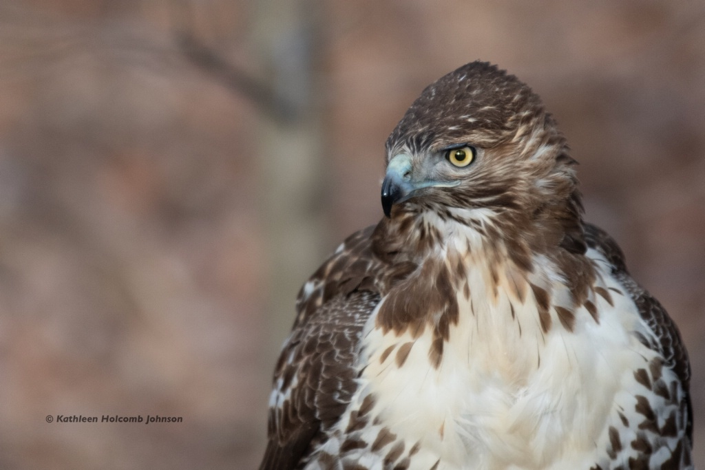 Hawks have Beautiful Eyes!
