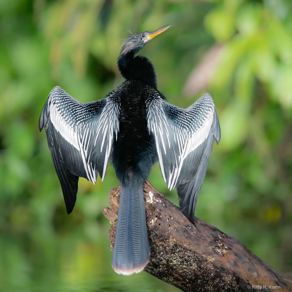 Anhinga Drying Wings