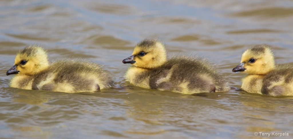 Baby Canada Geese