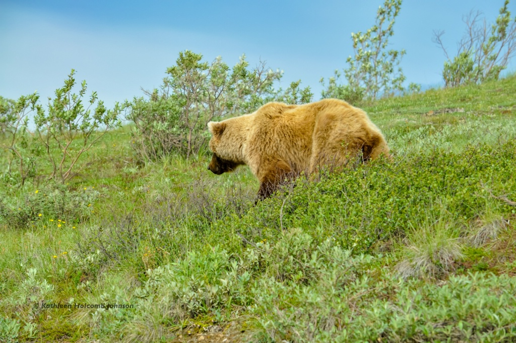 Alaskan Grizzly!
