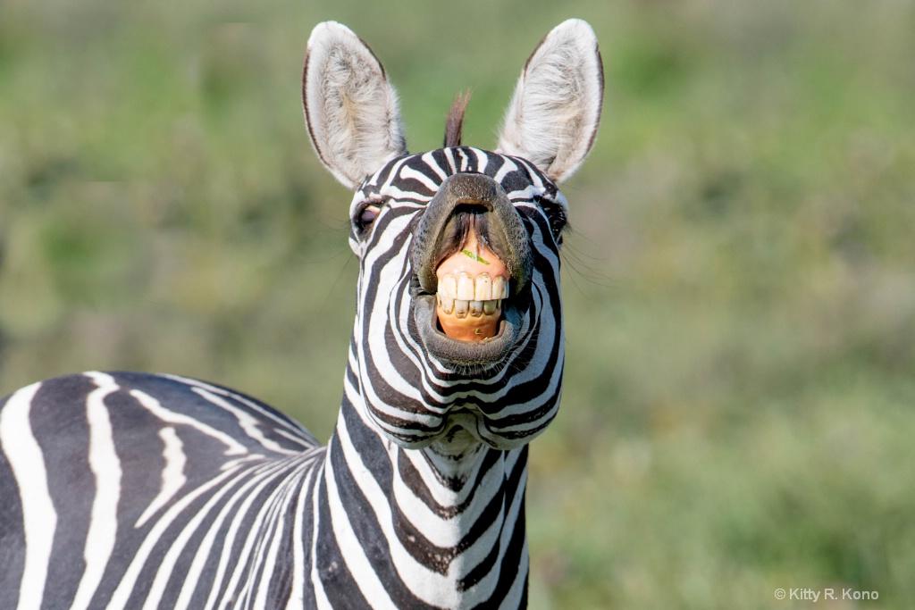 Zebra Smiling for the Camera