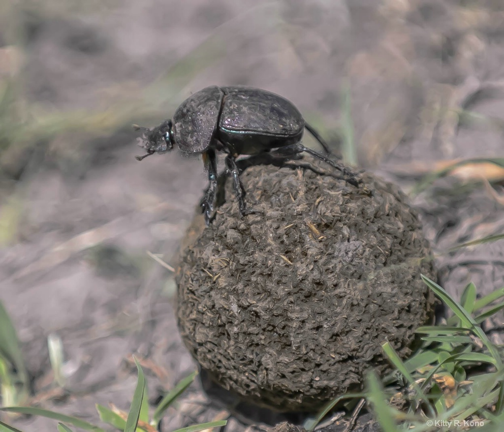 Dung Beetle Rolling a Little Dung