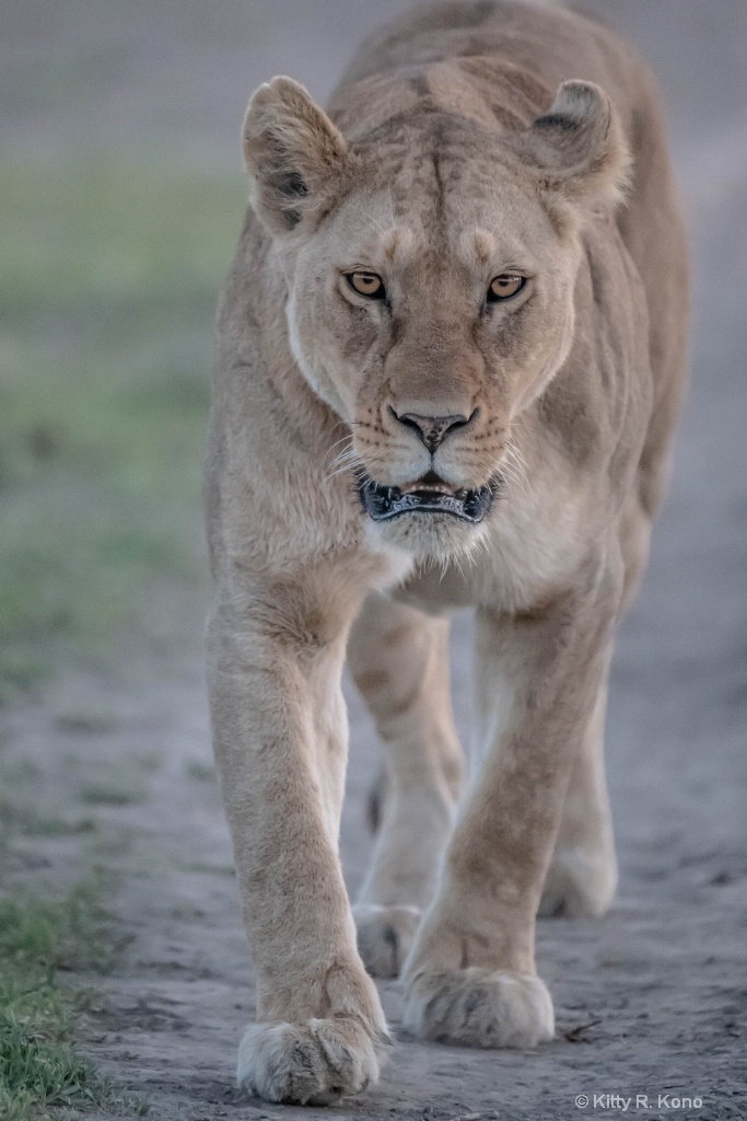Lion Coming this Way 2