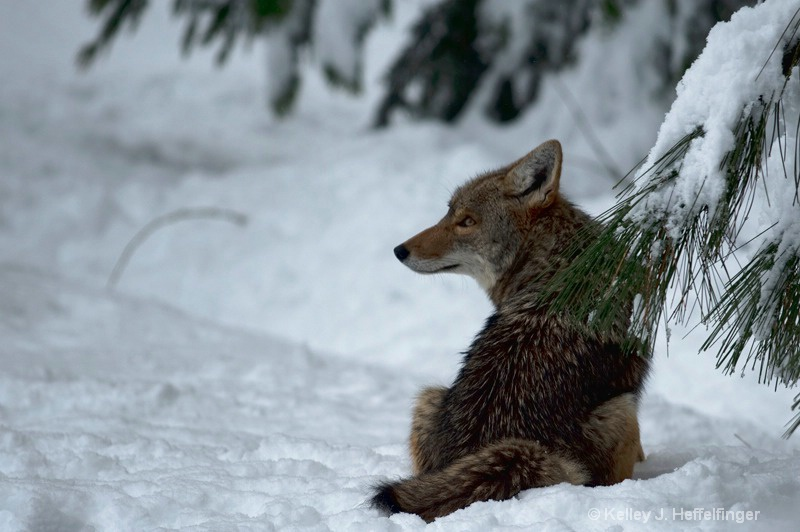 Coyote waiting for breakfast