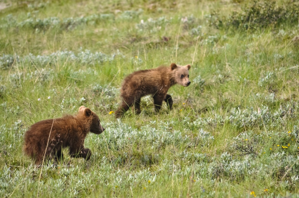 Baby Grizzlies Playing!