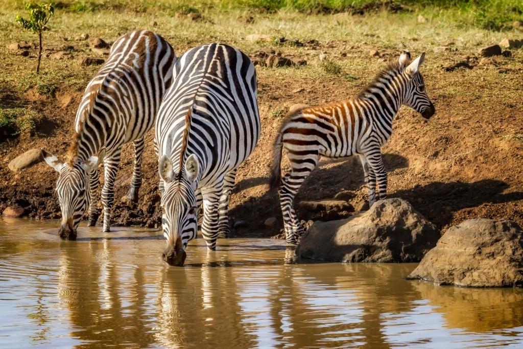 Zebra Family  7411
