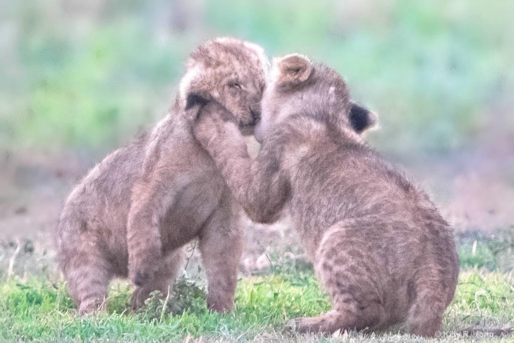 Kissing Cubs