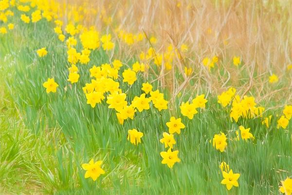 A Host of Daffodils