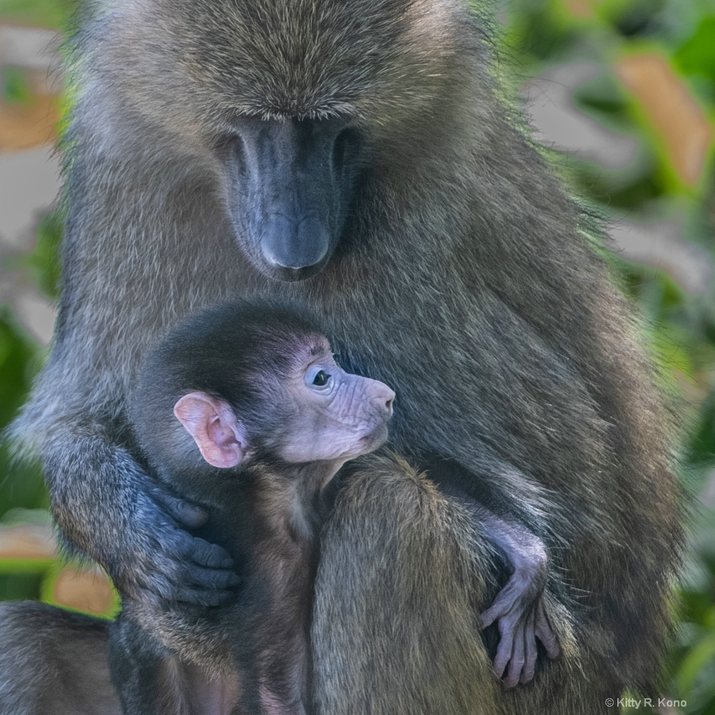 Mrs. Baboon and Brand New Baby