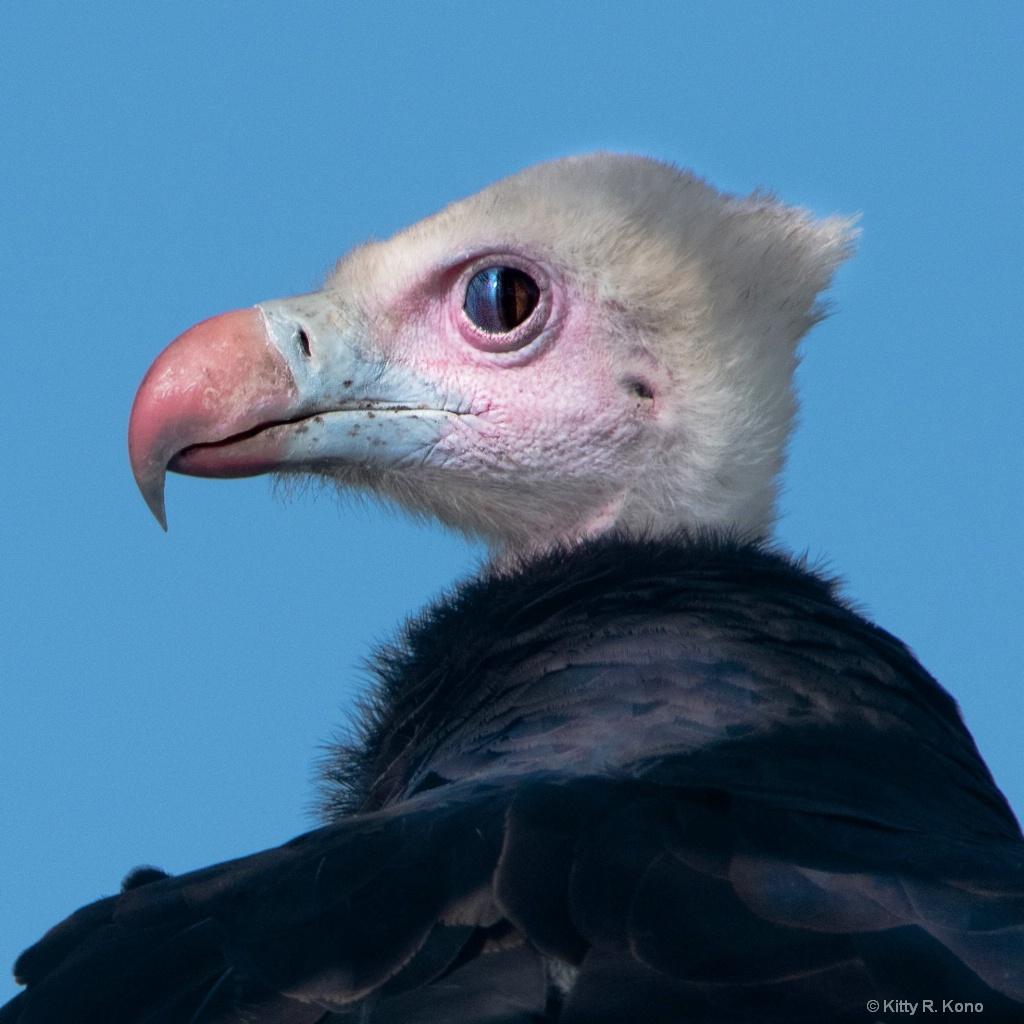 White Headed Vulture (Trigonoceps Occipitalis)