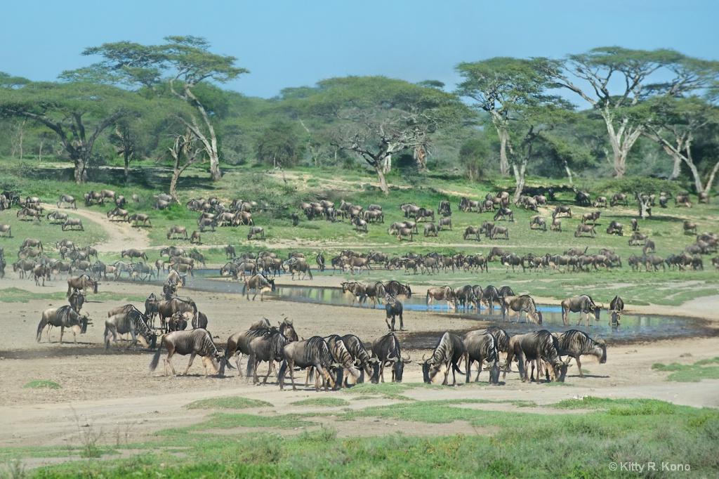 Wildebeests In Ndutu Tanzania