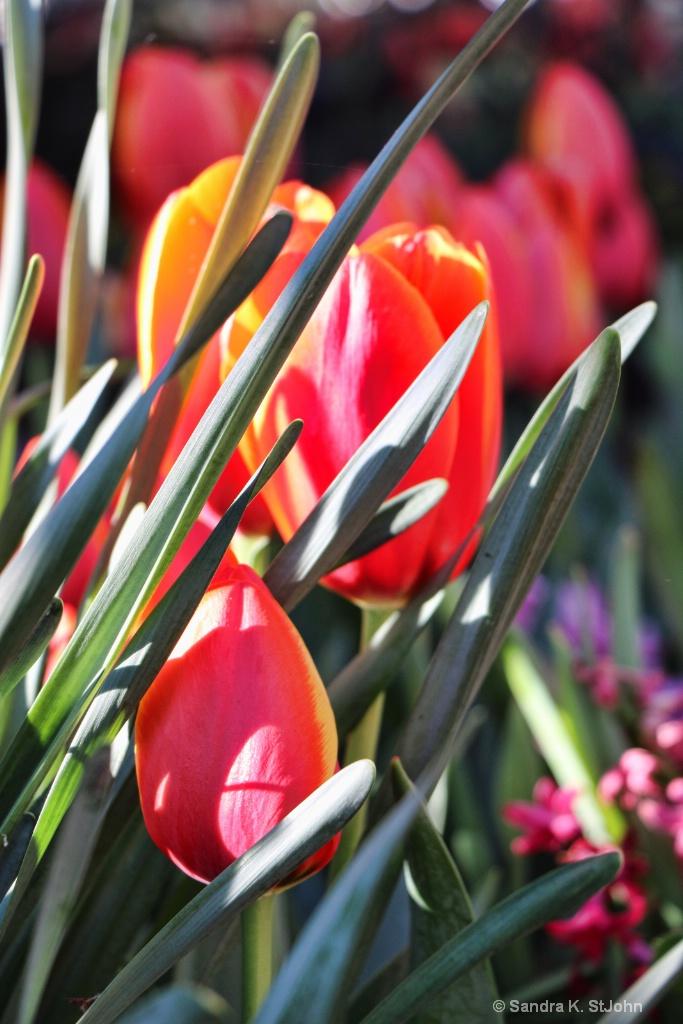 Hidden Tulips