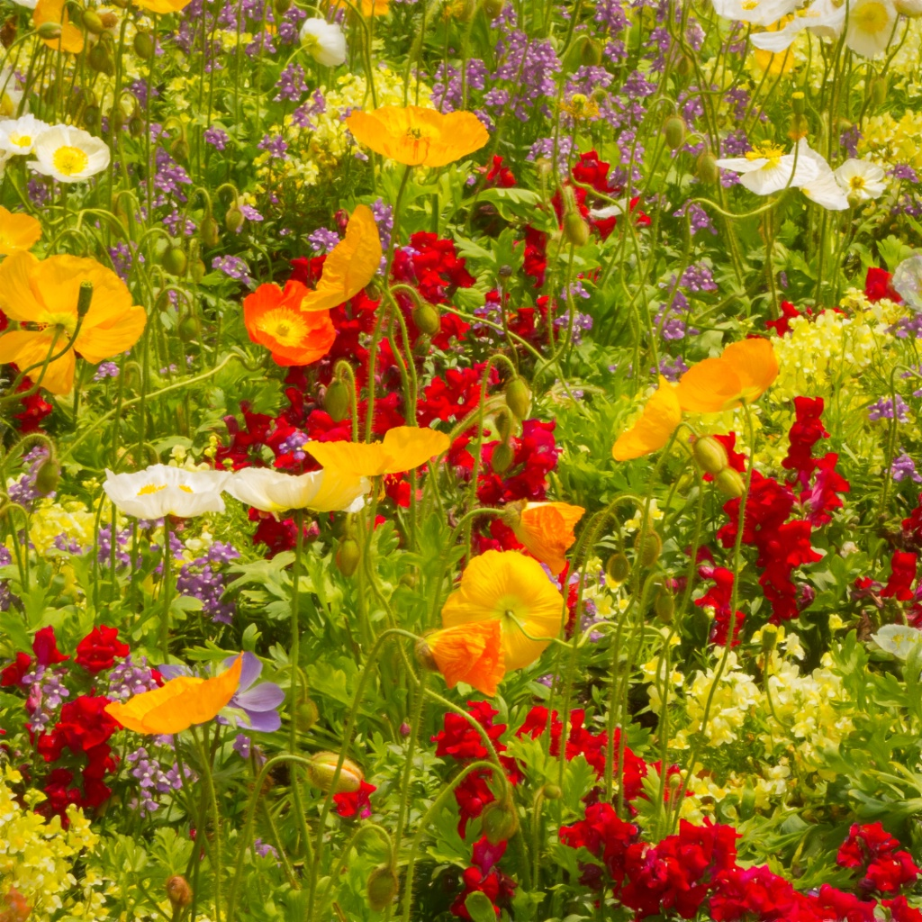 Laughing in Flowers - Poppies