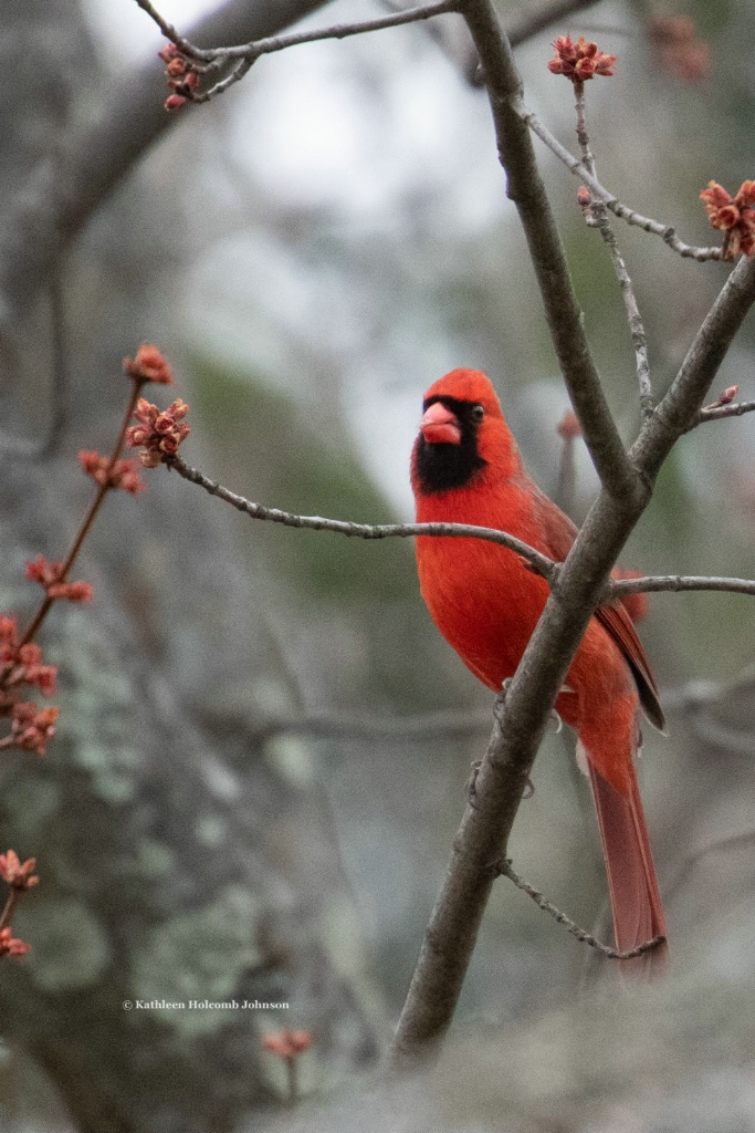 Cardinal Watching Me!