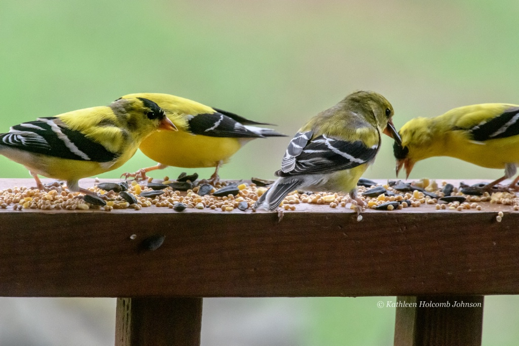Northern Goldfinch Gang!