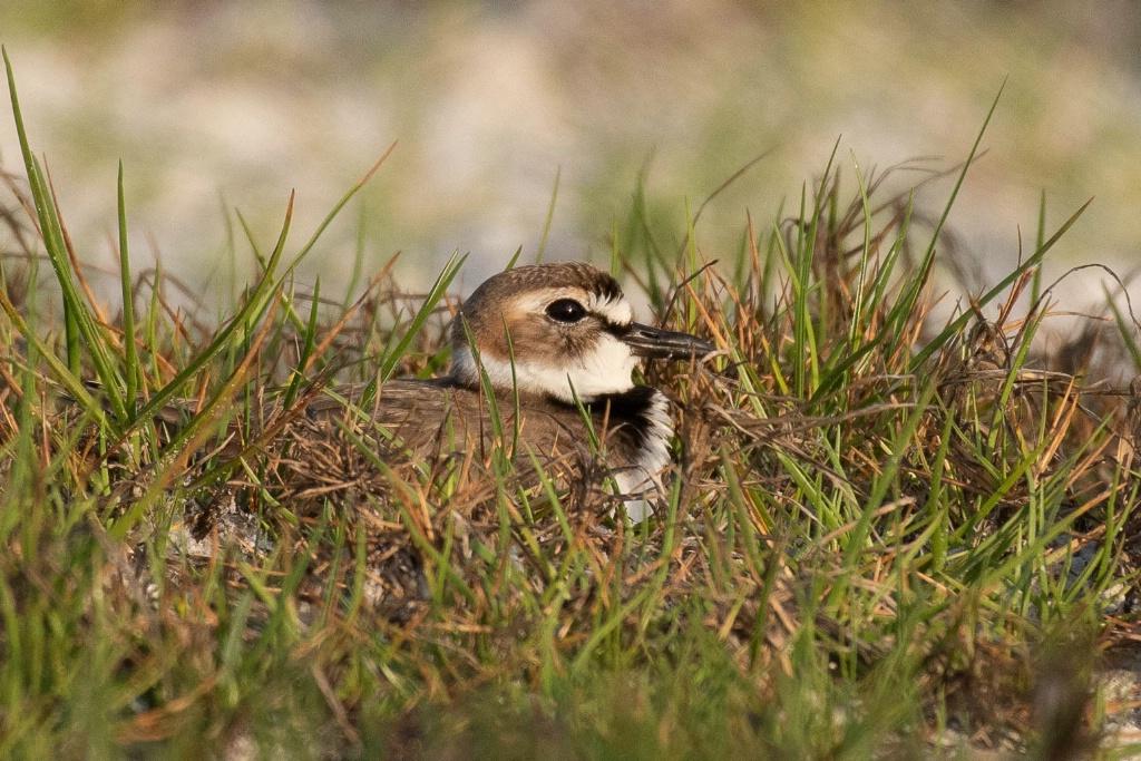 Nesting Plover