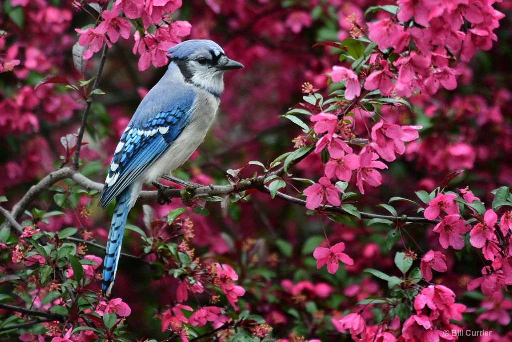 Blue Jay and Blossoms