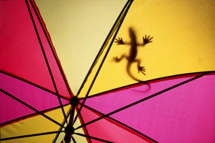 Lizard on Umbrella