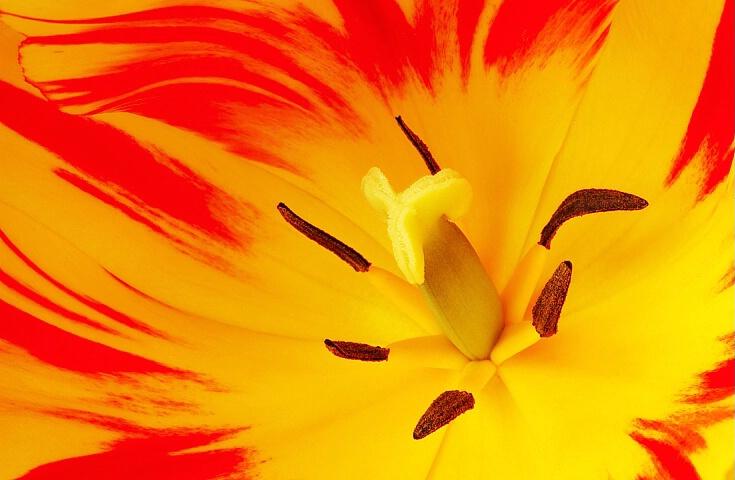 Two-tone Tulip