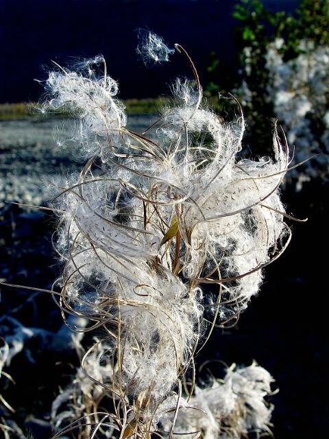 Fireweed Seed - ID: 48129 © Gary H. Minish