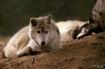 """Grey Wolves&..."