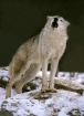 Howling Female Gr...