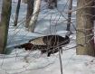 Vermont Wild Turk...