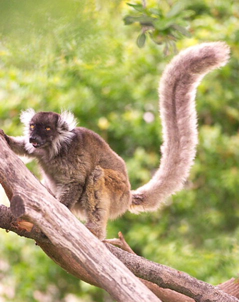 Lemur with Tufts 2 - ID: 107833 © Greg Harp
