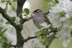 White-crowned spa...