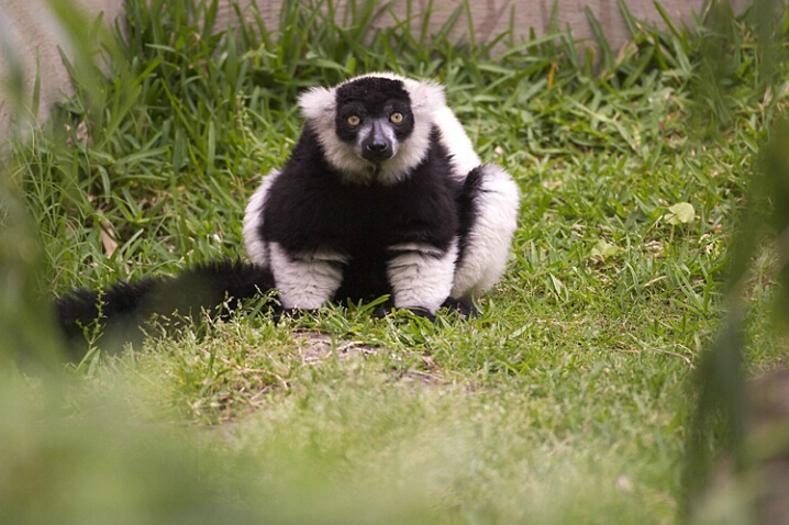 Black & White Lemur 3 - ID: 114289 © Greg Harp