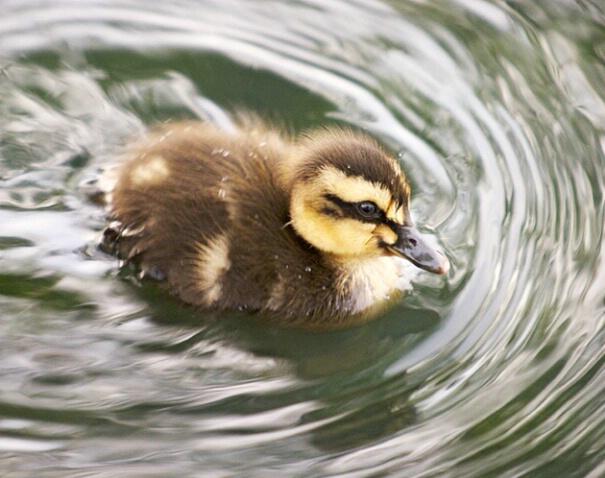 Duckling Speedboat - ID: 114291 © Greg Harp