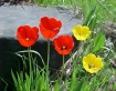Tulips Enjoying t...