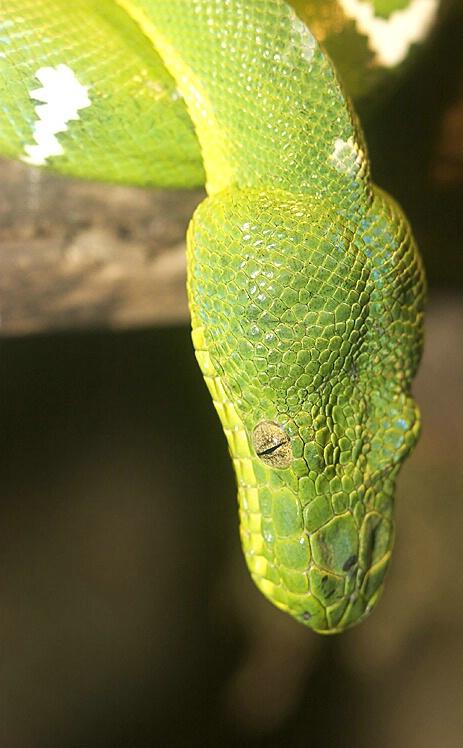 Green Snake - ID: 117784 © Greg Harp