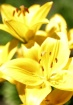 Yellow Impression...