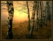 Dreaming birches