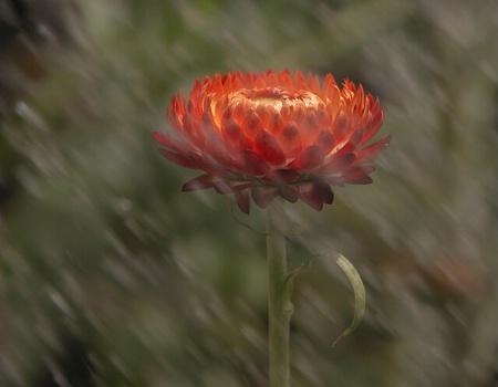 Single Flower in the Rain