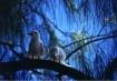 Birds of Heaven