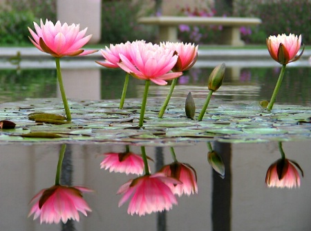 water lilies...