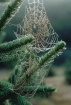 Spiders webs in t...