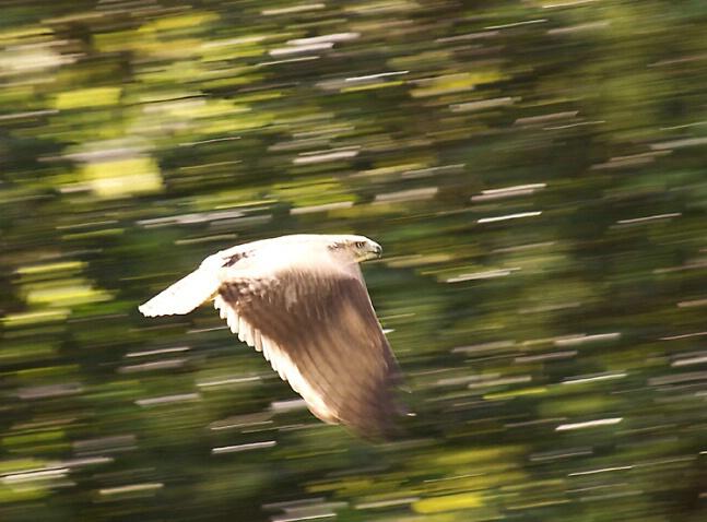 Falcon on the wing - ID: 191846 © Greg Harp