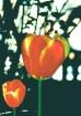 'Tulip Duet.....