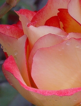 Thick Petals