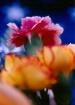 Flowers: Carnatio...
