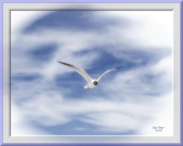 Sandpiper in flight