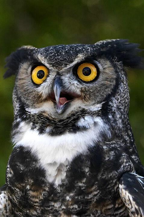 Mr. Owl 38